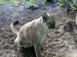Puma  (1)