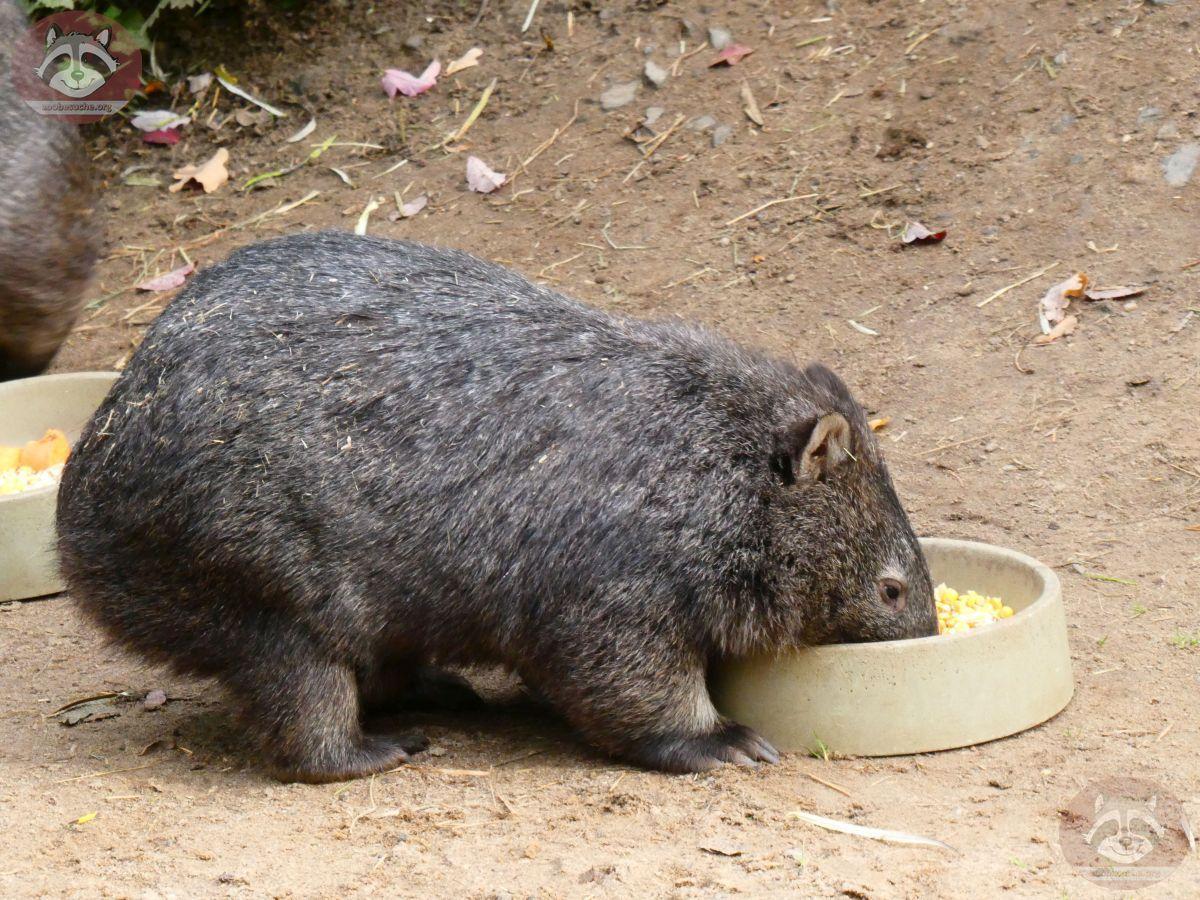 Wombat (5)