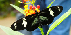 Schmetterling  (11)