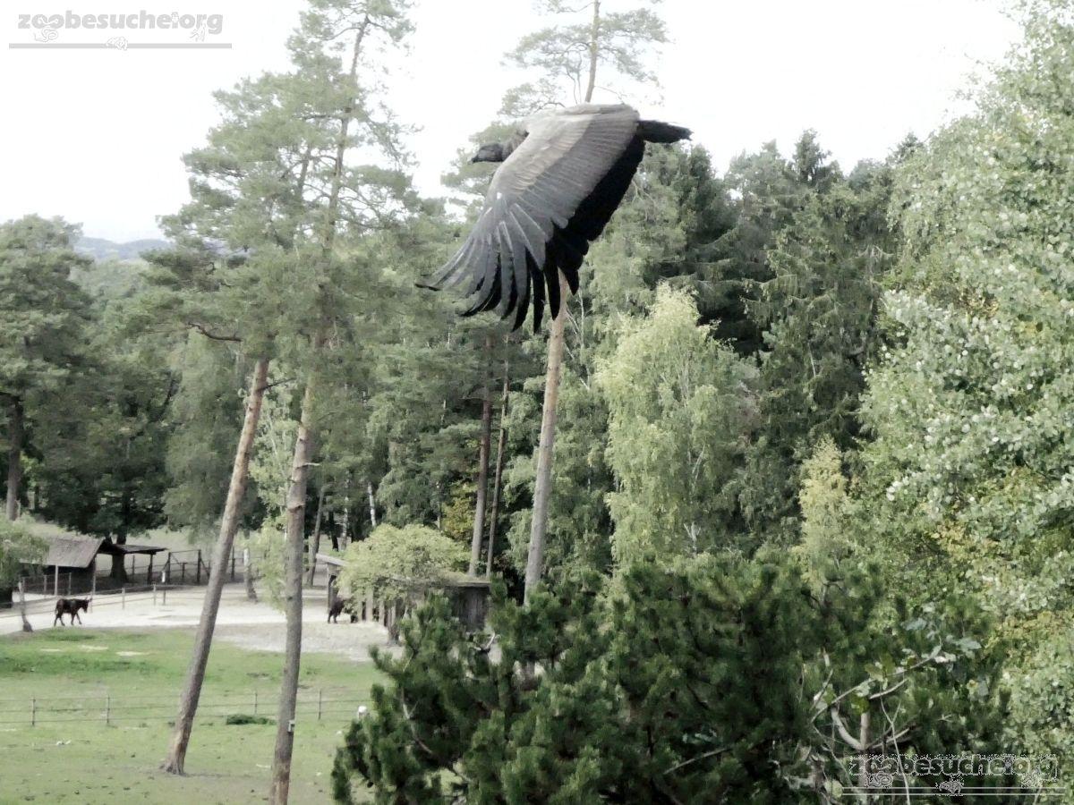 Andenkondor  (6)