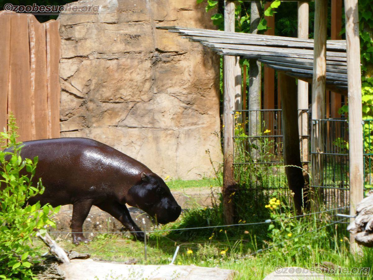 Zwergflusspferd  (5)