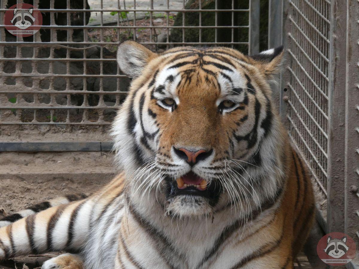 Tiger Diego (1)