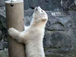 Eisbär  (65)