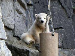 Eisbär  (61)