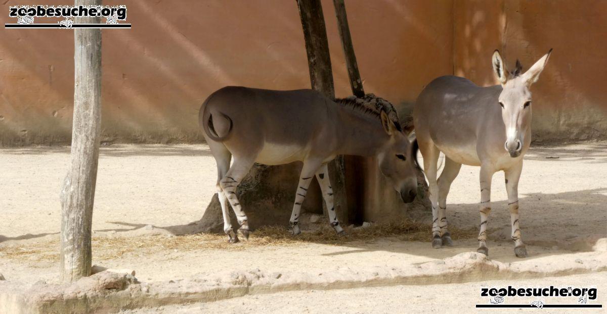 Somali Wildesel