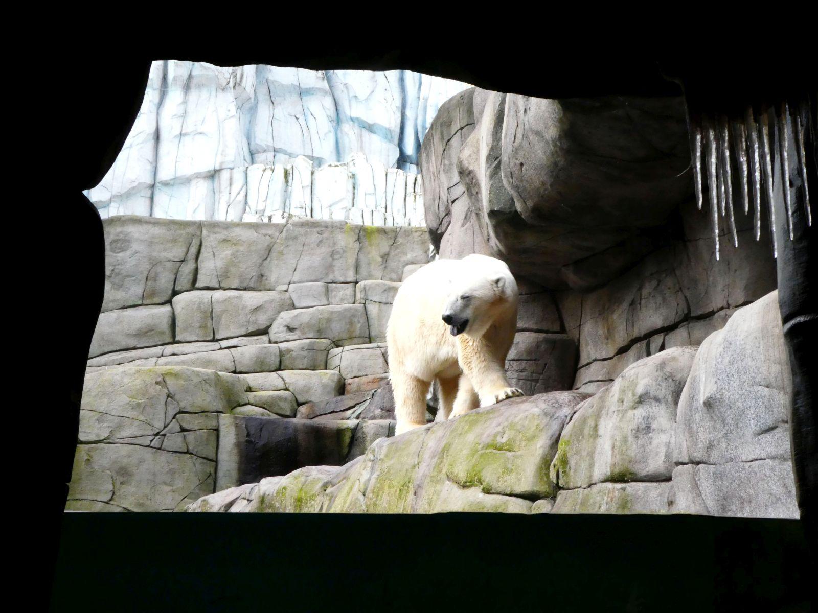 Eisbär  (5)