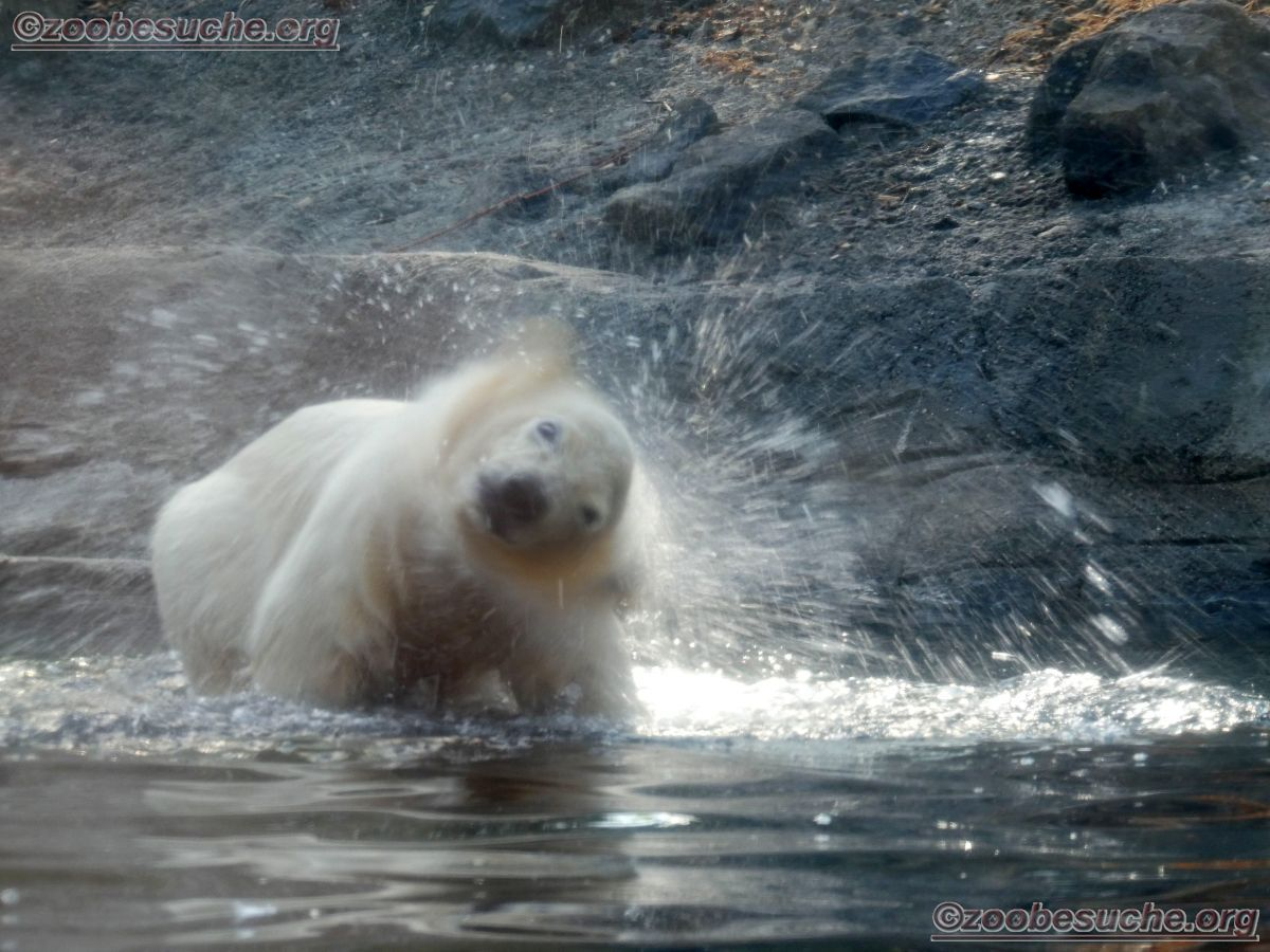 Eisbär  (28)