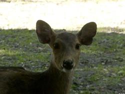 Nilgau-Antilope  (4)