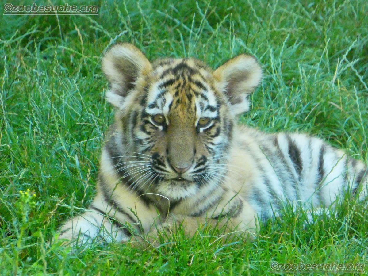 Tiger Jungtier (12)