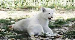 Löwen  (31)