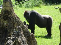 Gorilla  (13)