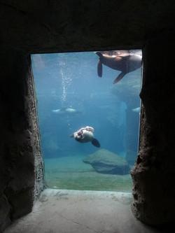 Südafrikanischer Seebär  (7)