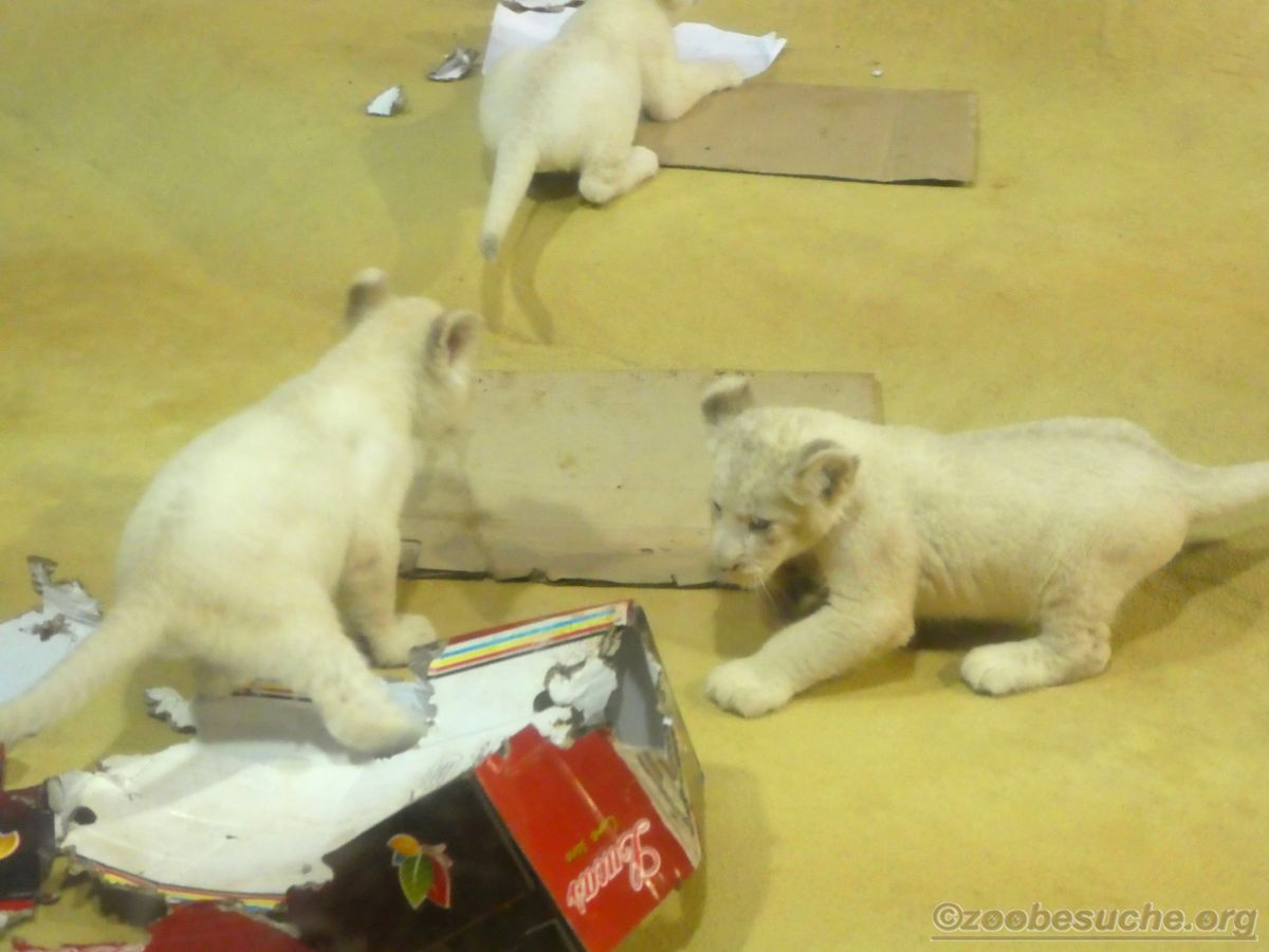 Weiße Löwen Jungtiere (14)