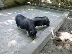 Vietnamnesisches_Hängebauchschwein__(19)