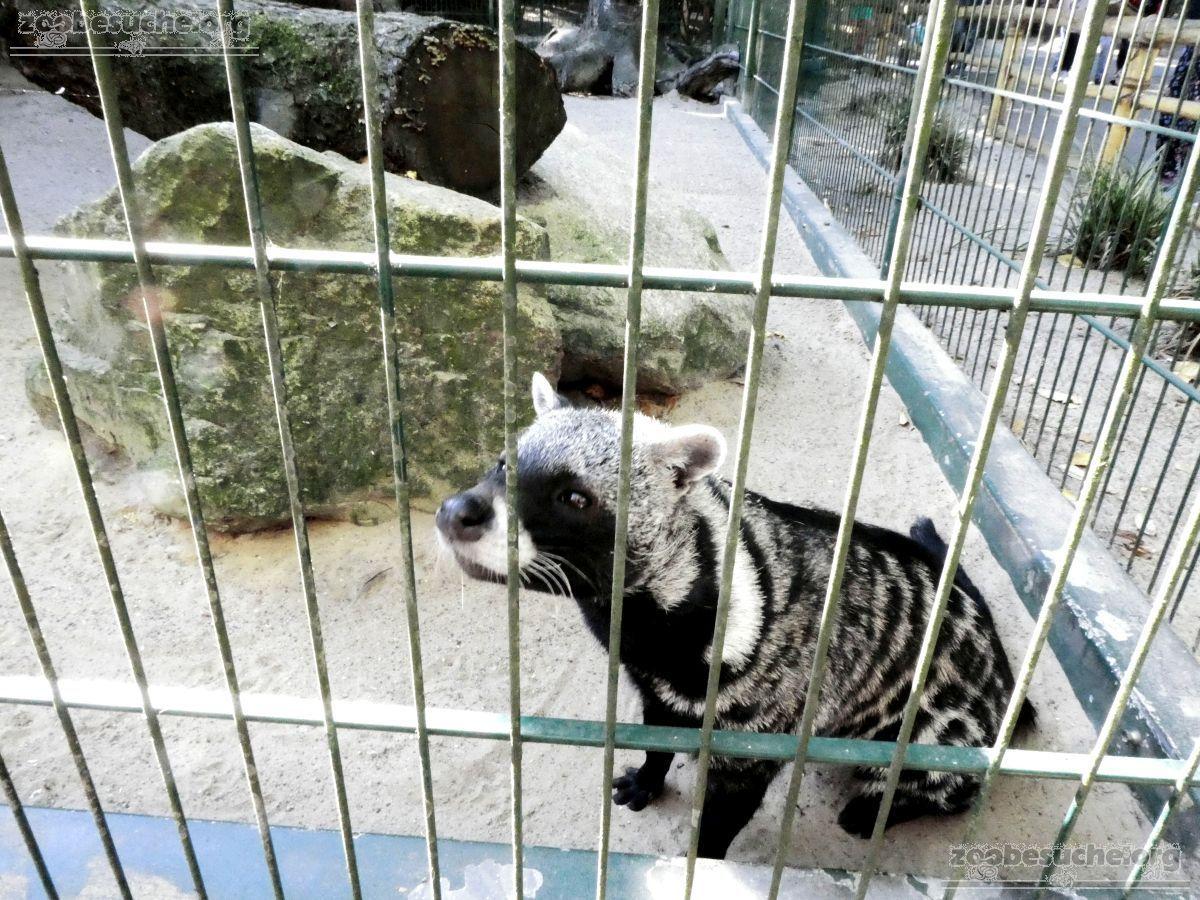 Afrikanische Zibetkatze  (2)