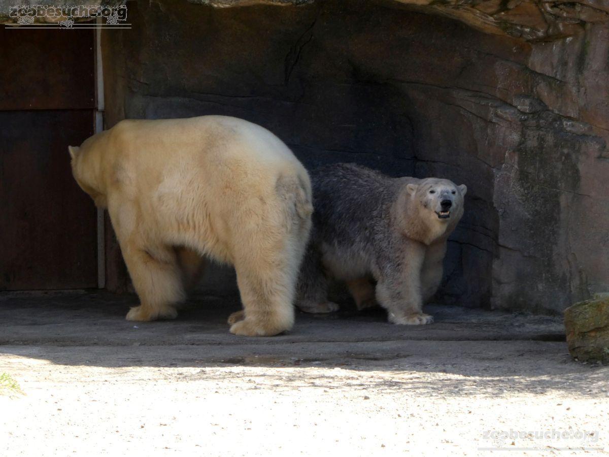 Eisbären_Milana_und_Sprinter_(2)