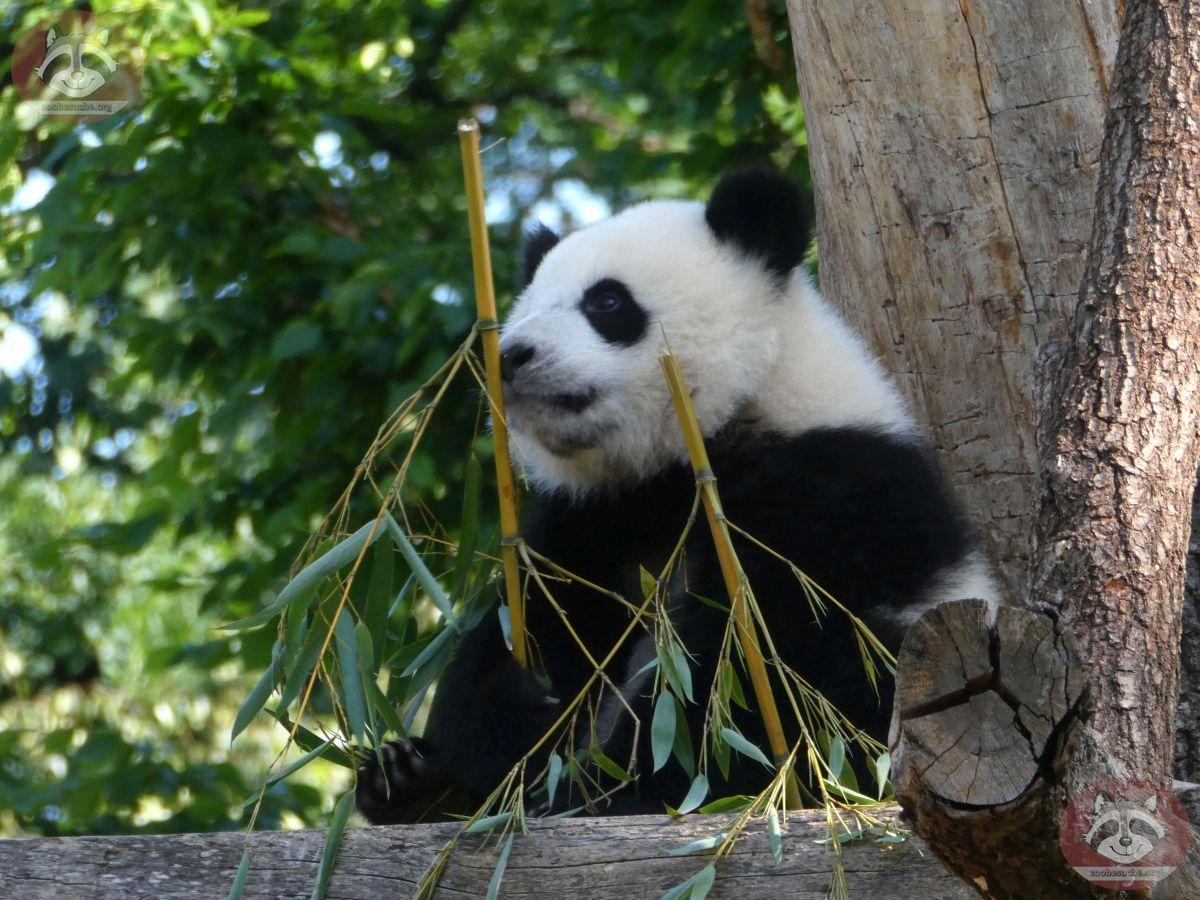 Panda Jungtier  (14)