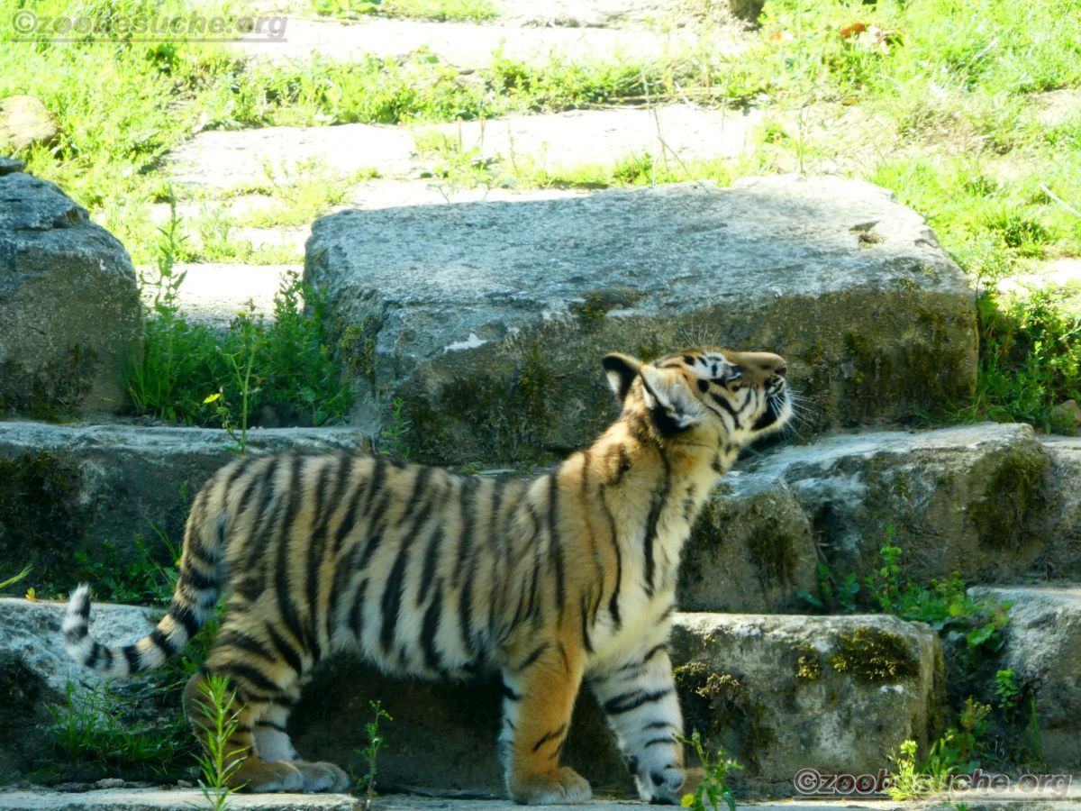 Tiger Jungtier (23)