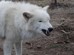 Polarwolf  (8)