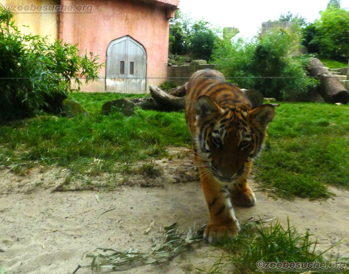 Tiger Jungtier Jaro  (0)