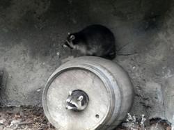 Waschbären  (2)
