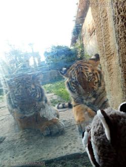 Wuschel mit Tiger Jungtier  (13)