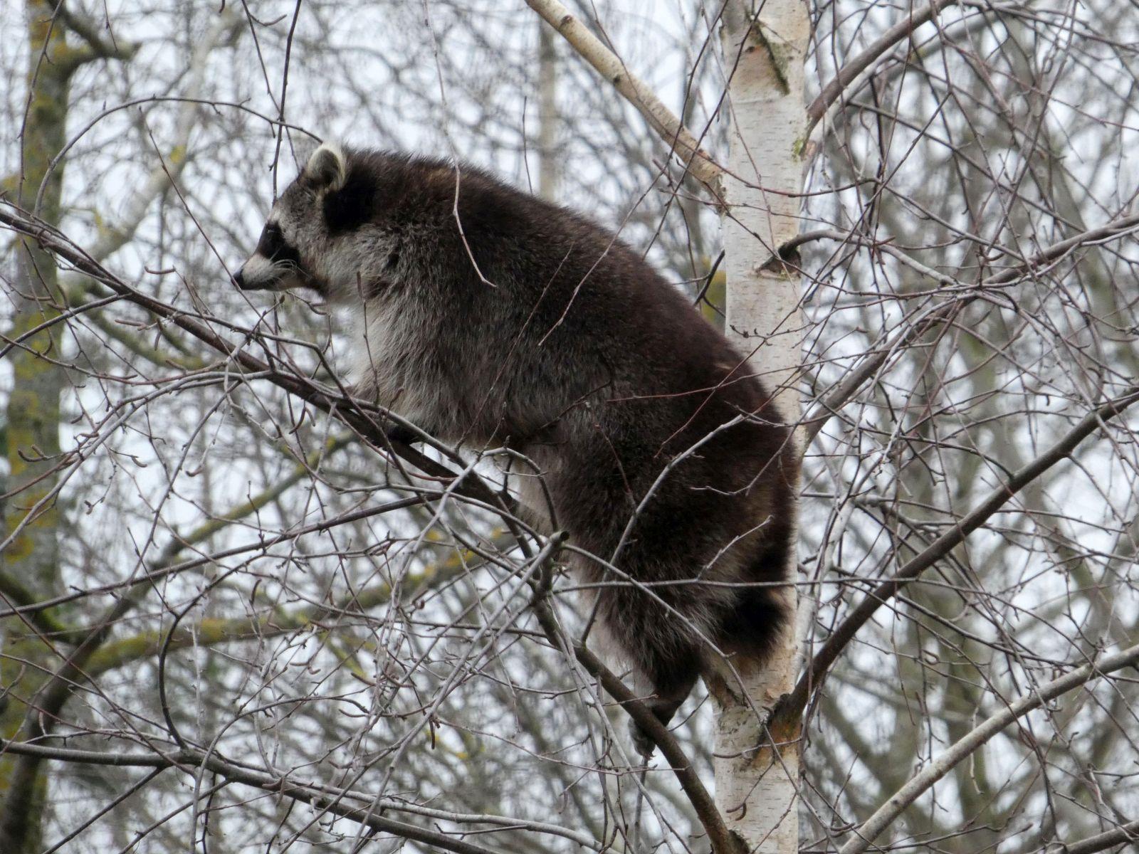 Waschbären  (6)