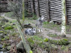 Timberwölfe  (1)