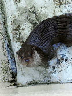 Kurzkrallen Otter  (4)