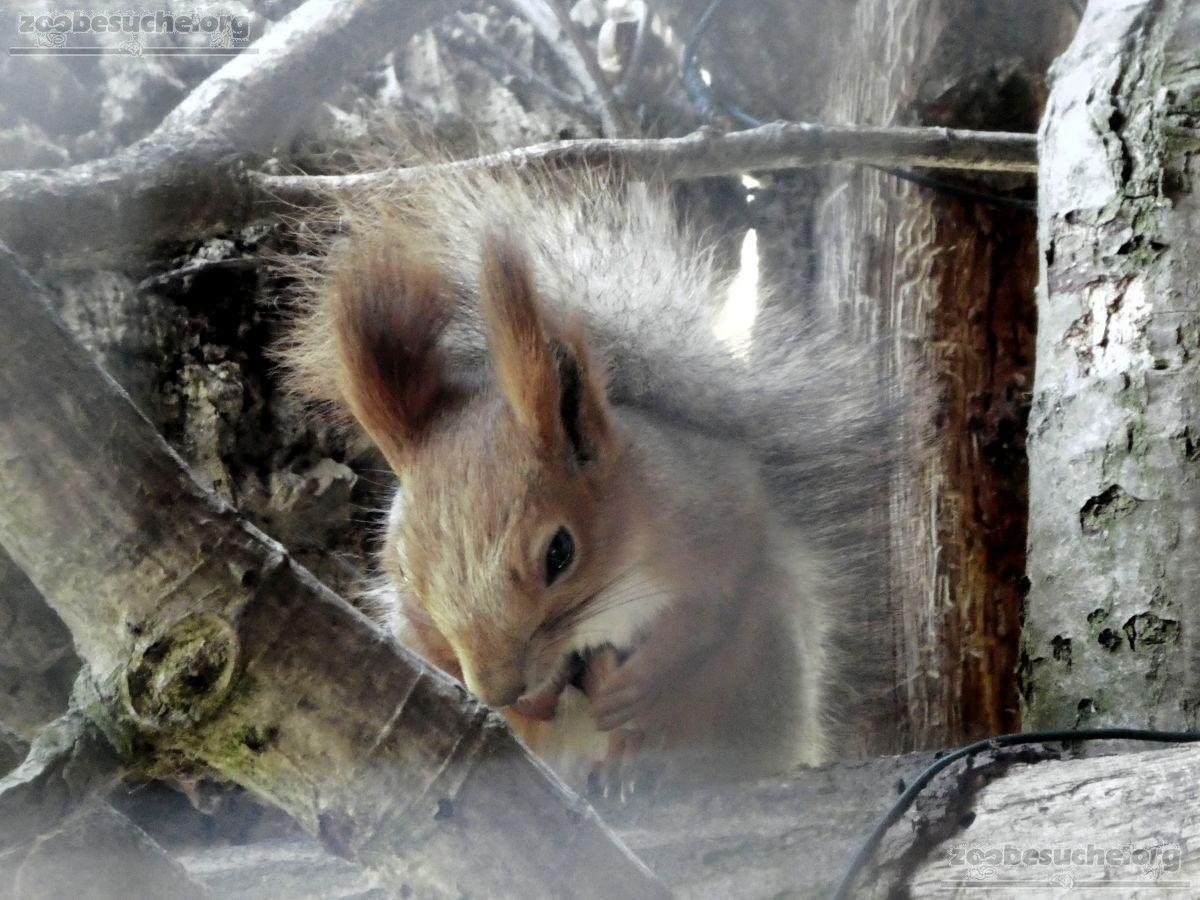 Sibirisches_Eichhörnchen__(1)