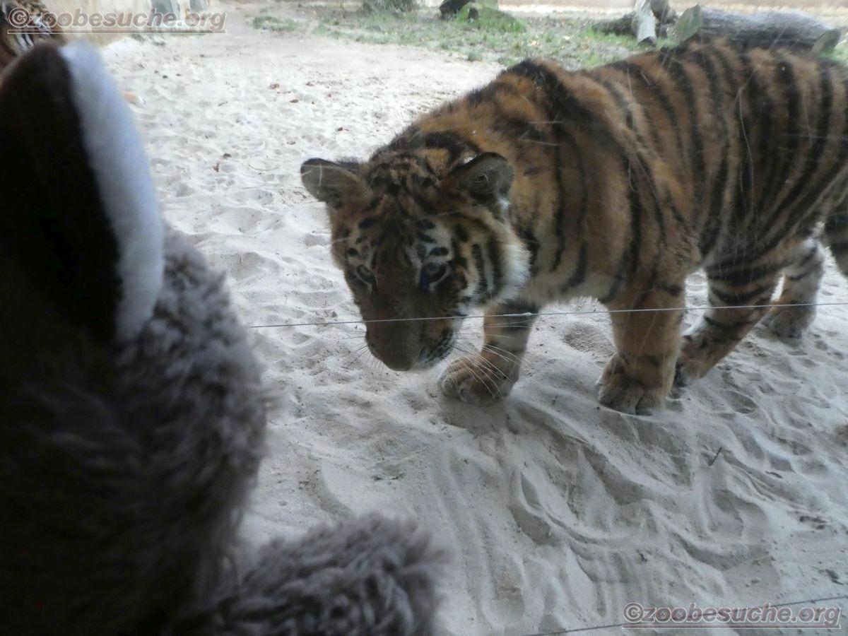 Tiger Jungtier mit Wuschel  (8)