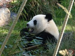Panda Meng Meng  (5)