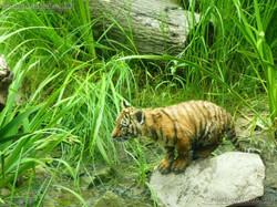 Tiger Jungtiere  (61)