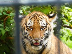 Tigerjungtiere  (4)