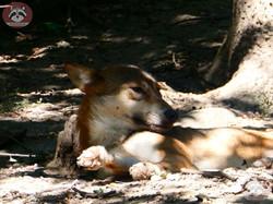 Wolf (1)