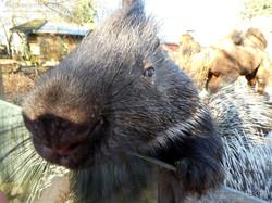 Stachelschwein  (3)
