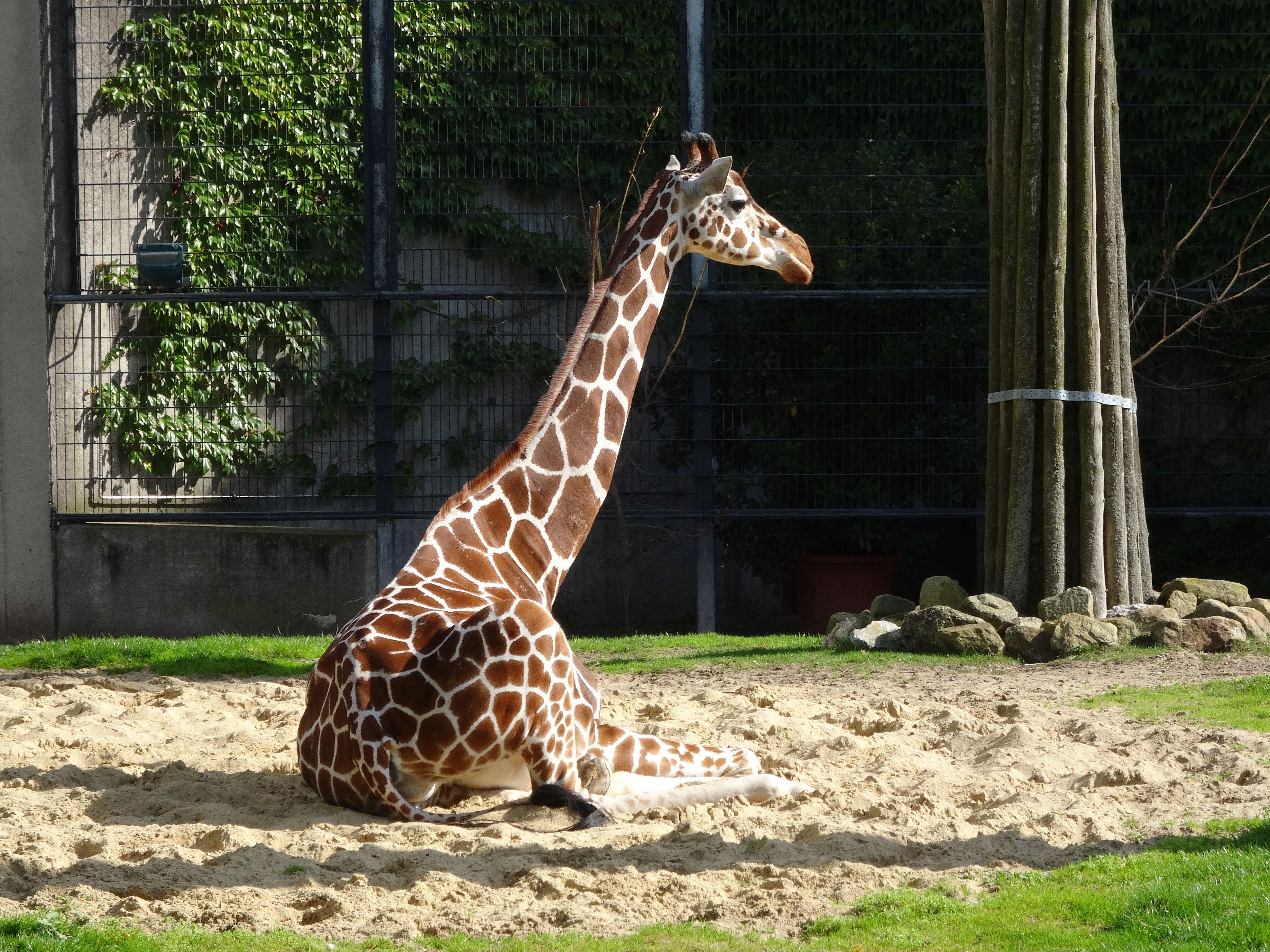 Giraffe beim Sonnenbad