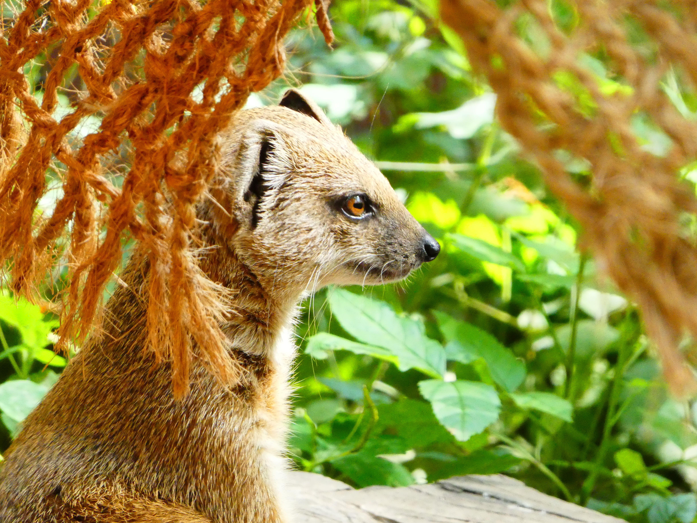 Fuchsmanguste  (1)