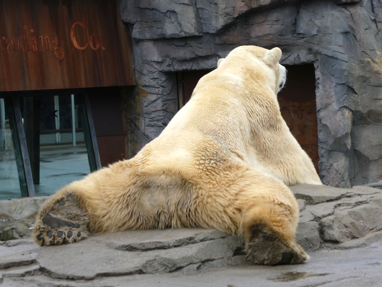 Eisbär  (13)