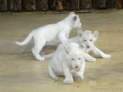 Weiße Löwen Jungtiere (22)