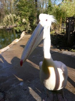 Pelikan  (3)