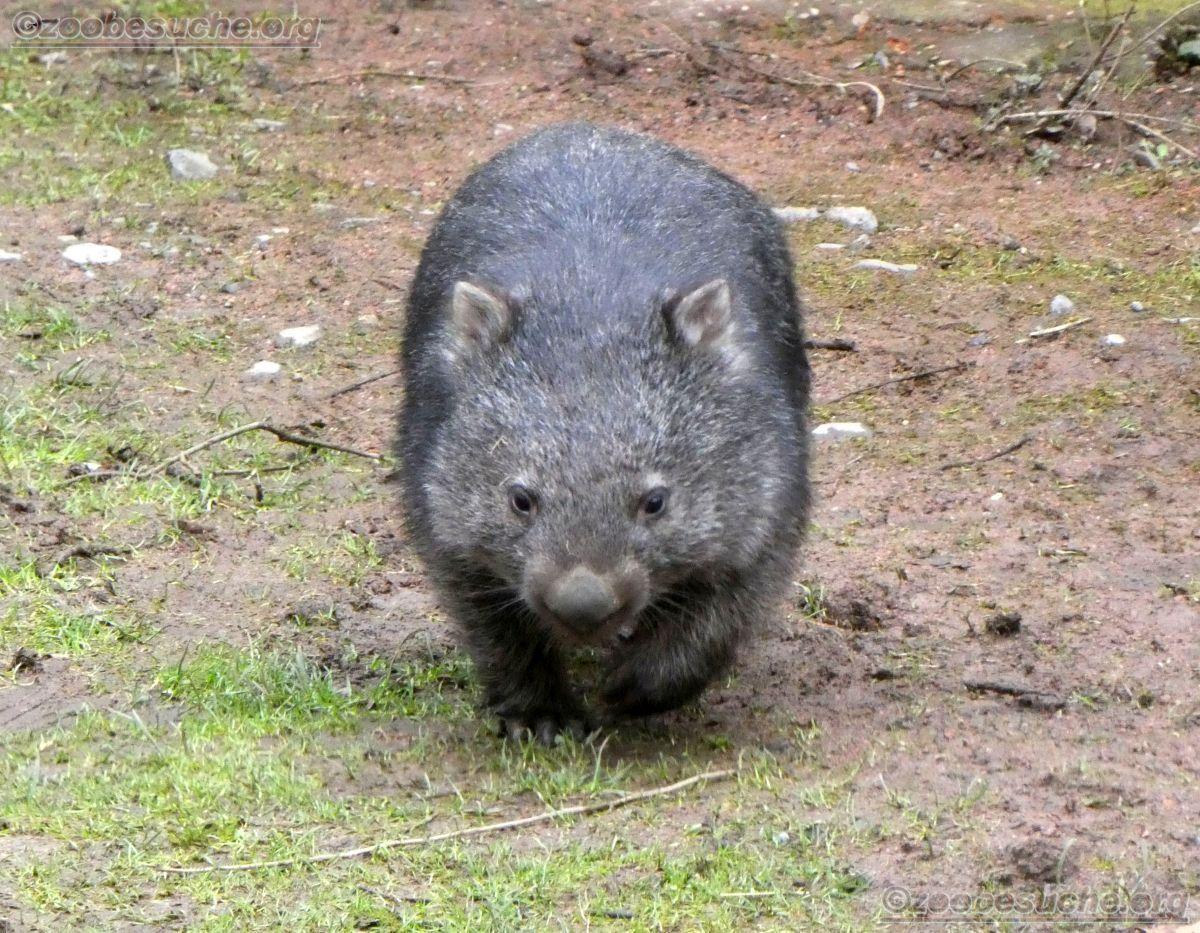 Wombat Maja  (1)