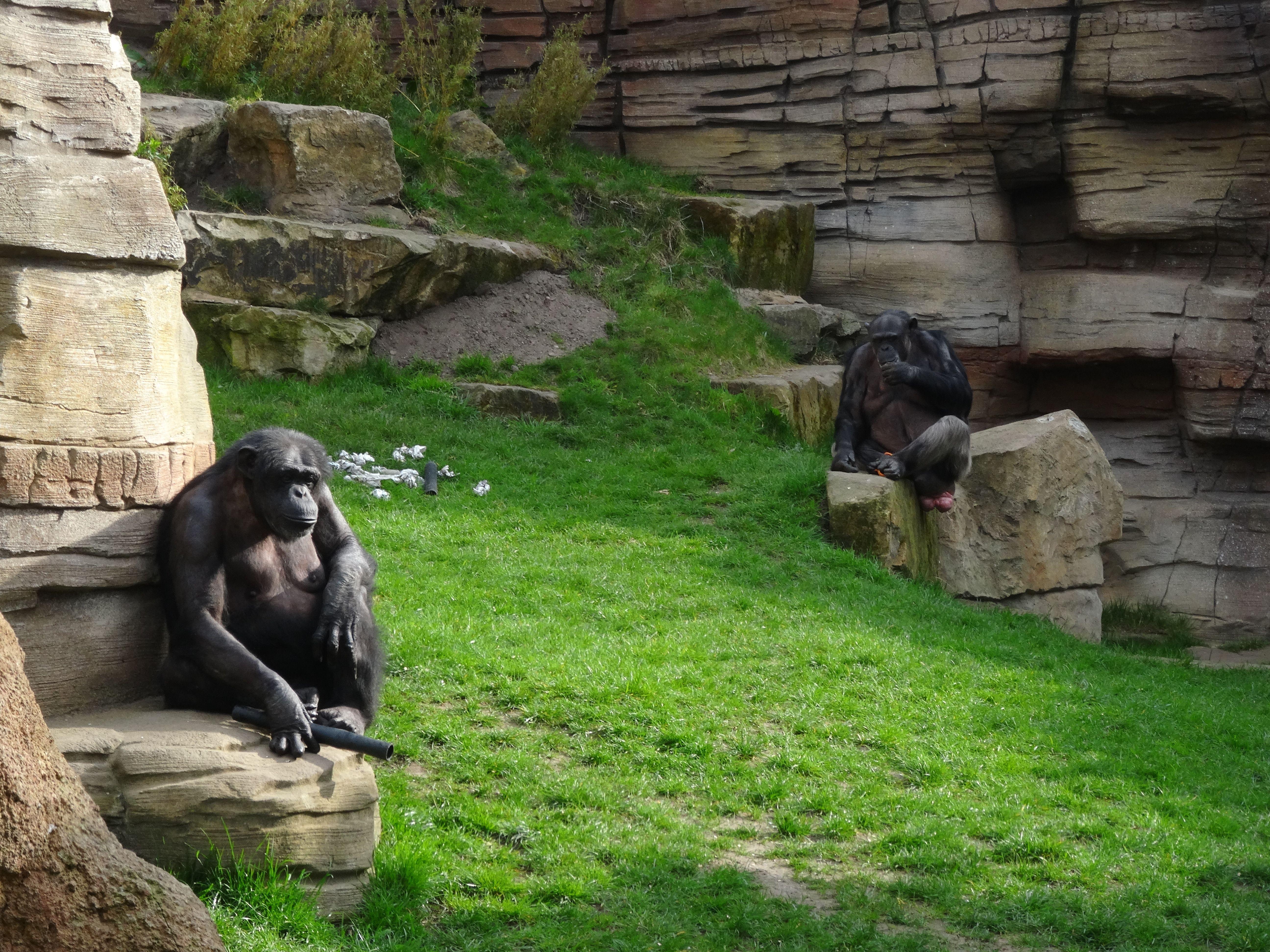 Schimpanse  (7)