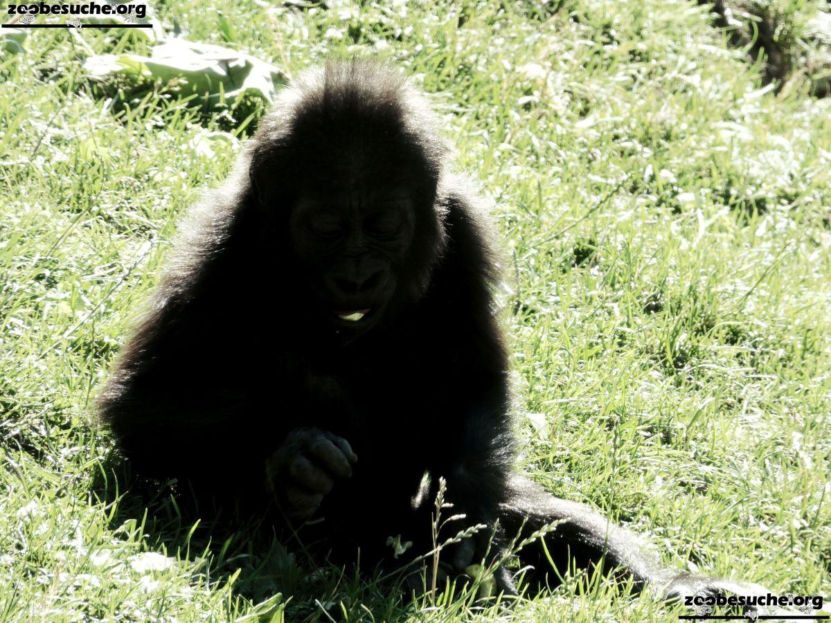 Gorilla Jungtier Tara  (4)