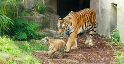Tigerin Alexa  mit Jungtieren (6)