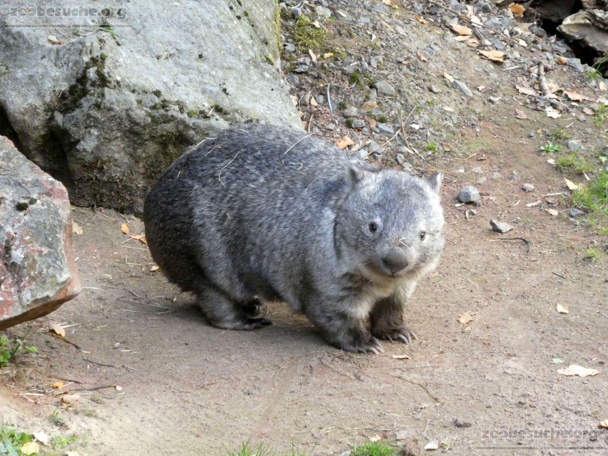 Nacktnasenwombat  (6)