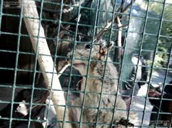 Chinesisches_Baumstreifenhörnchen__(7)