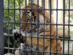 Tiger Aljosha