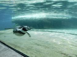 Pinguin  (10)