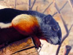 Prevost-Schönhörnchen  (4)